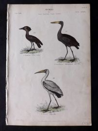 Richardson 1862 HC Bird Print. Tufted Umbre, Milky Ibis, Madagascar Open Bill
